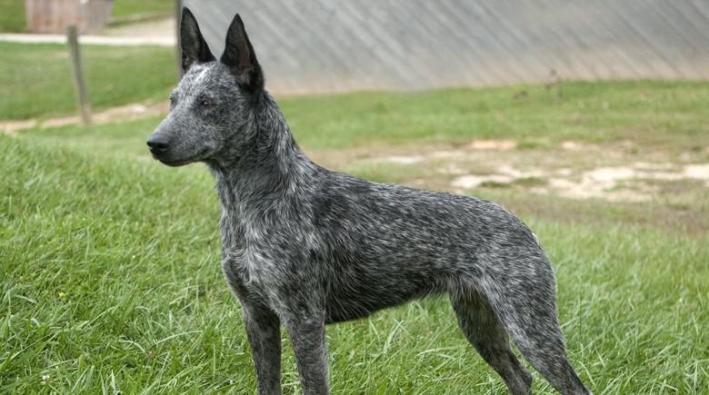 7 Best Dog Breeds With Natural Bobtails Upward Nub